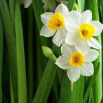 Nargis Flower